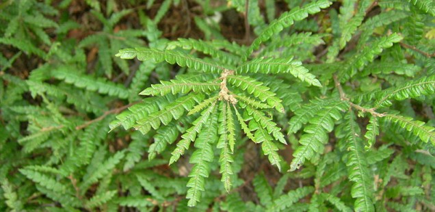 sweetfern photo by Fungus Guy