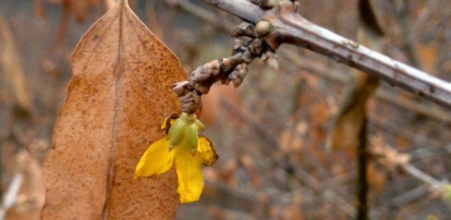 [Tweet] forsythia blooming in Decem...